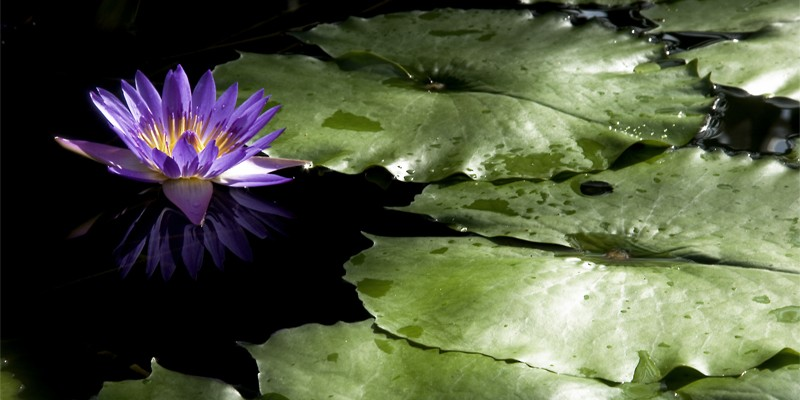 waterlily_Randi
